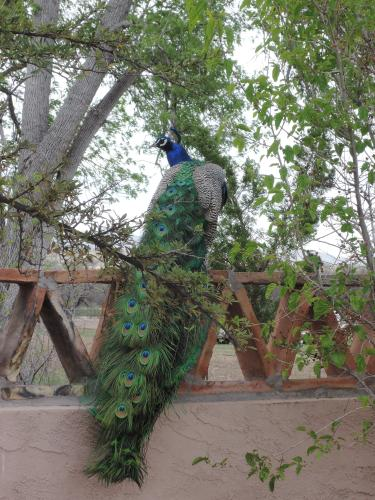 Resident peacock in full display